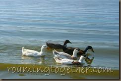Ducks on Lake Elsinore